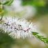 Árbol del Té (Tea tree)