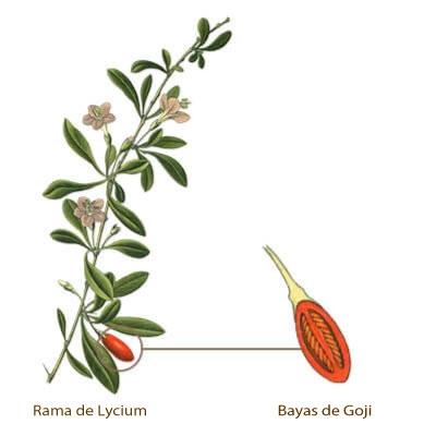 Ilustración goji y bayas de goji