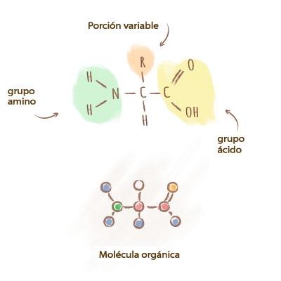 Origine-acides-amines