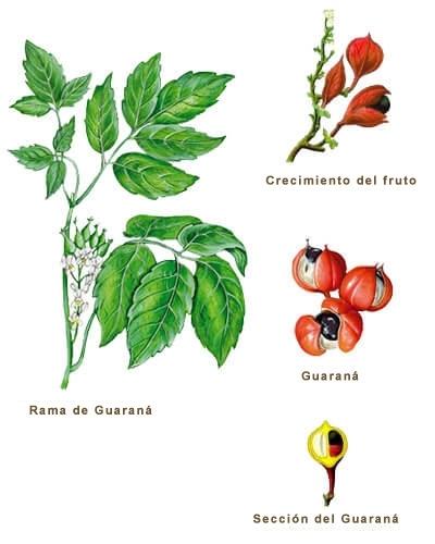 Ilustración Guaraná